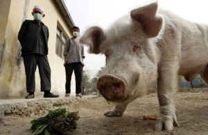 the-only-pig-in-Afghanist-011